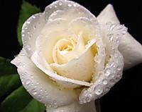 Rose_rain